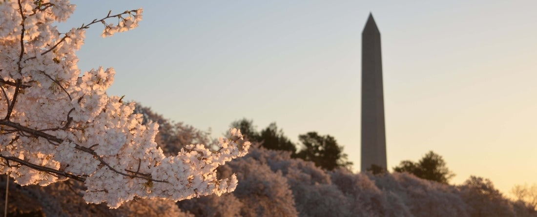washington dc in cherry blossons